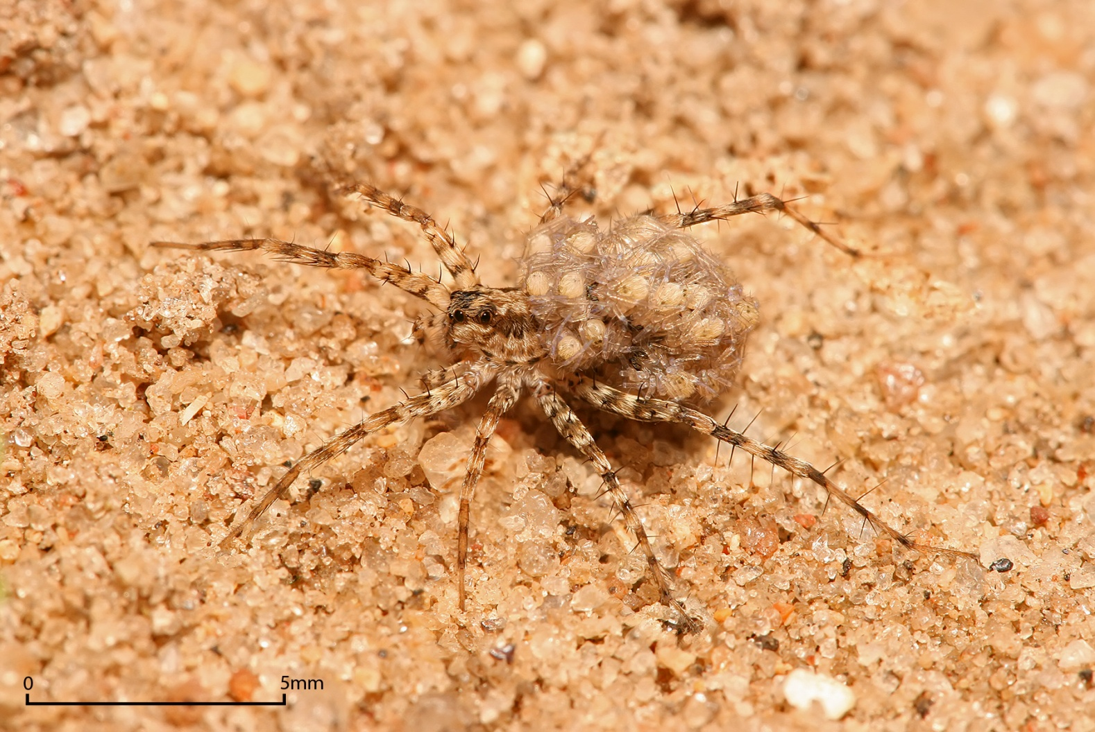 https://upload.wikimedia.org/wikipedia/commons/5/55/Lycosidae_female_carrying_young.jpg