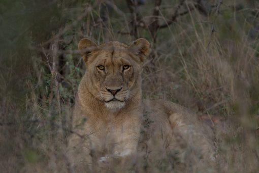 Animais da África do Sul - Leoa encarando a câmera com ar de superior, deitada de lado com a cabeça erguida.