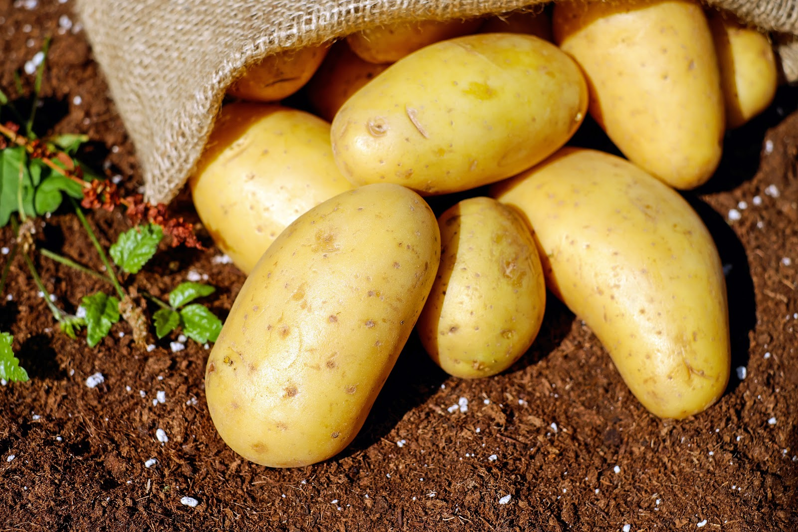 Sweet potatoes are good for eyesight