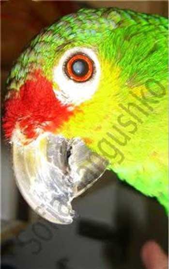 Cataract in an Amazon (Courtesy Sofia Sangushko. Used with permission).