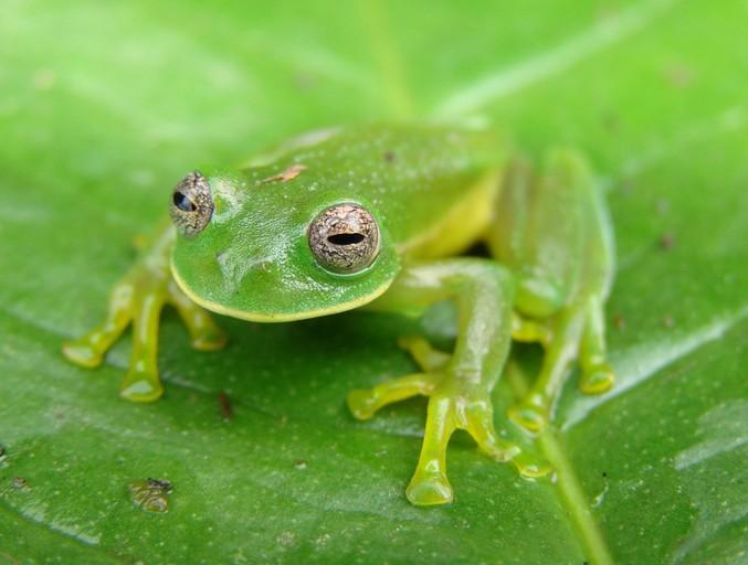 Image result for glass frog in their natural habitat