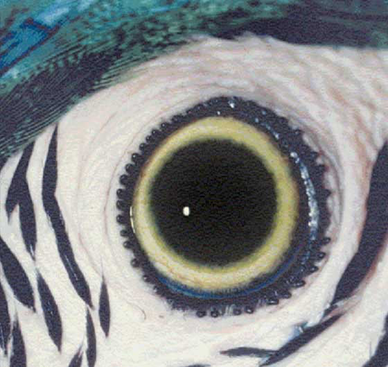 The iris of a mature blue and gold macaw