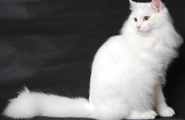 Ангорская белая кошка
