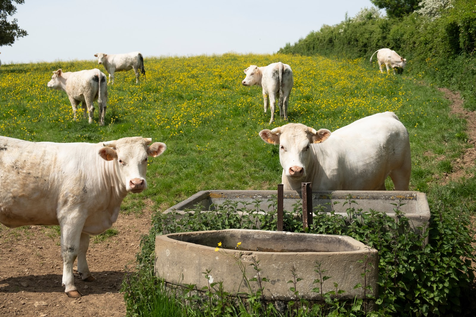 Vaches normandes