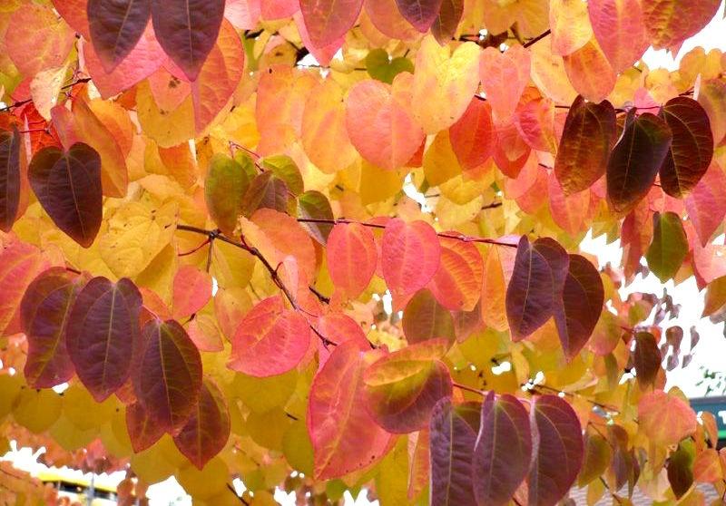 Красота листьев японского багряника