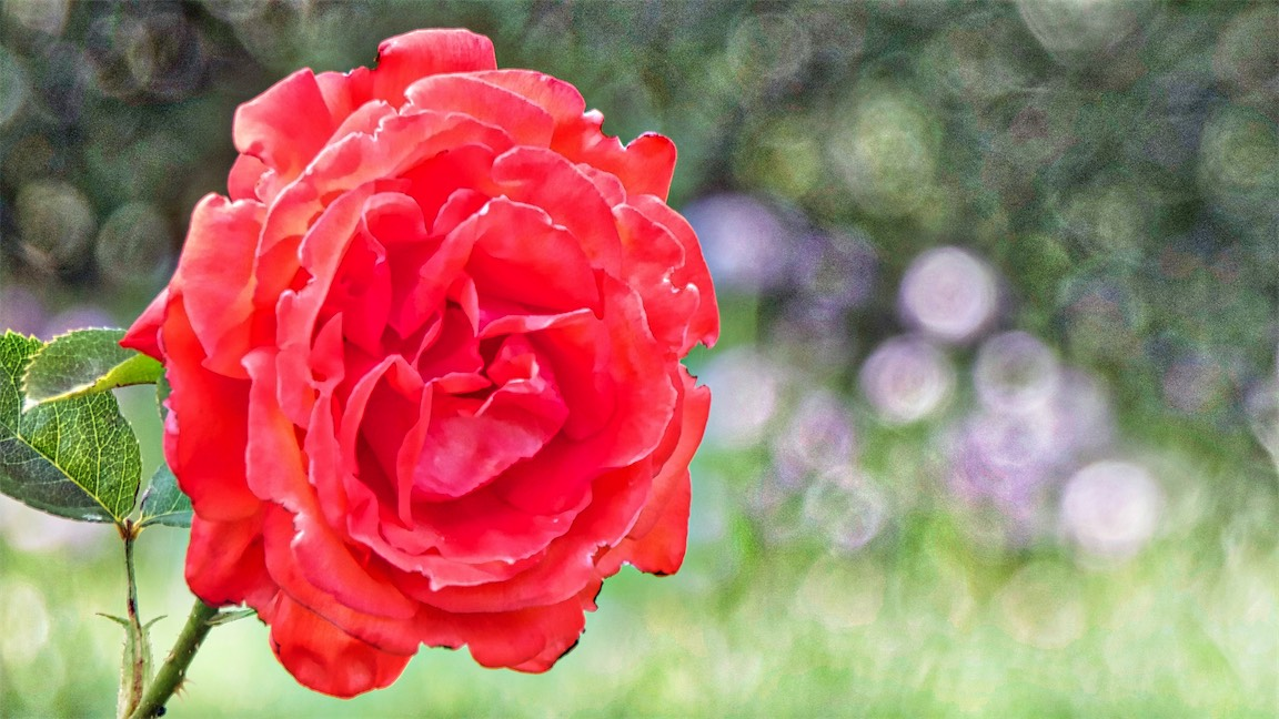 Wowee Red Rose.jpg
