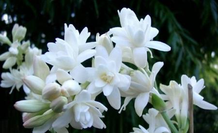 hoa nhuệ ta