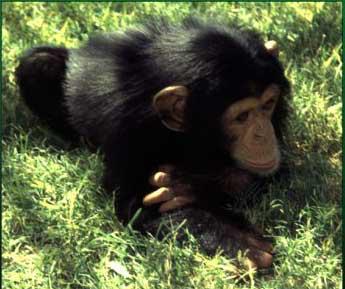 Pan troglodytes (common chimpanzee) [11].