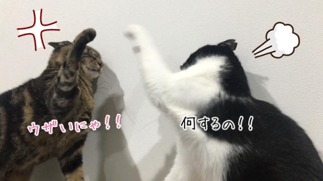 【多頭飼いあるある】猫の喧嘩について