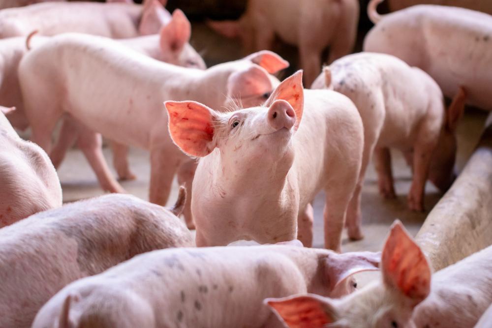 China foi responsável por 35% das exportações de carne brasileira em 2020, segundo Abiec. (Fonte: Shutterstock)