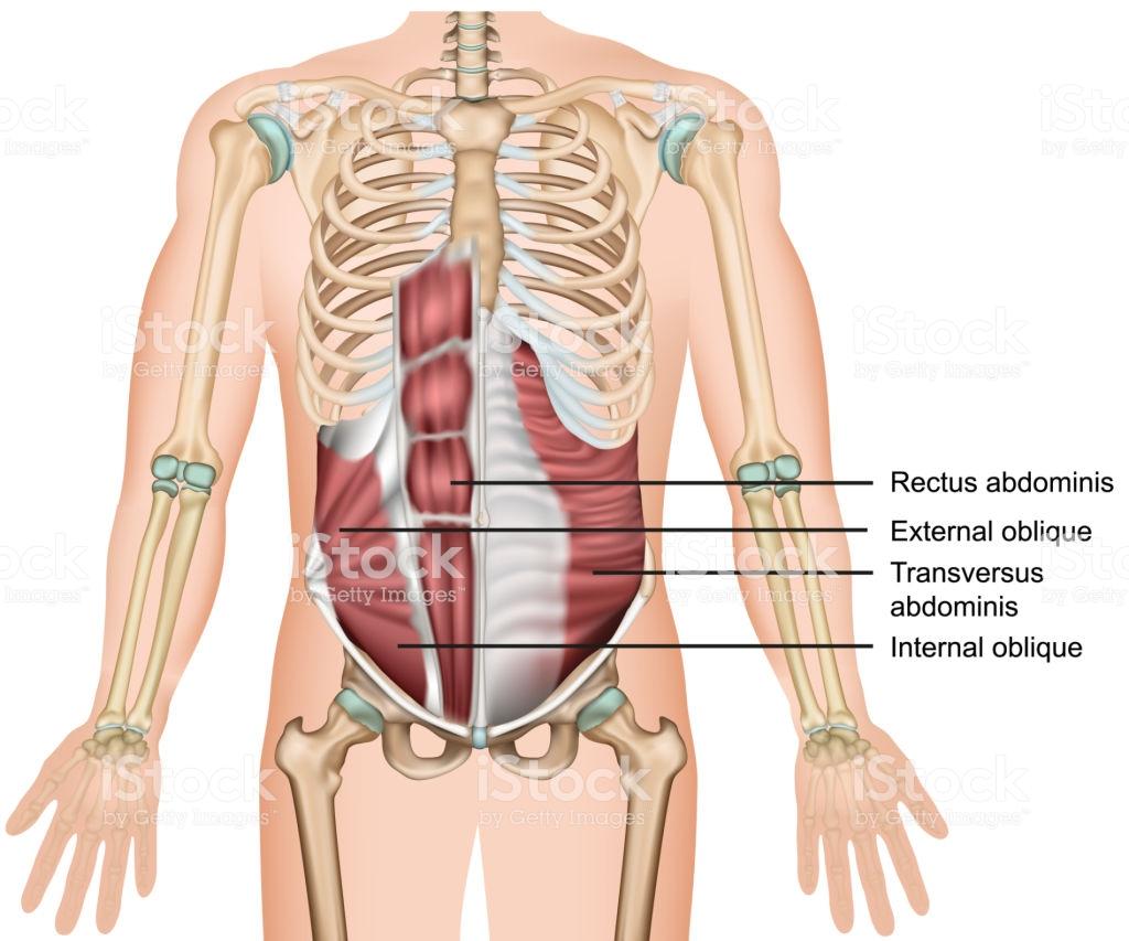 cấu tạo cơ bụng
