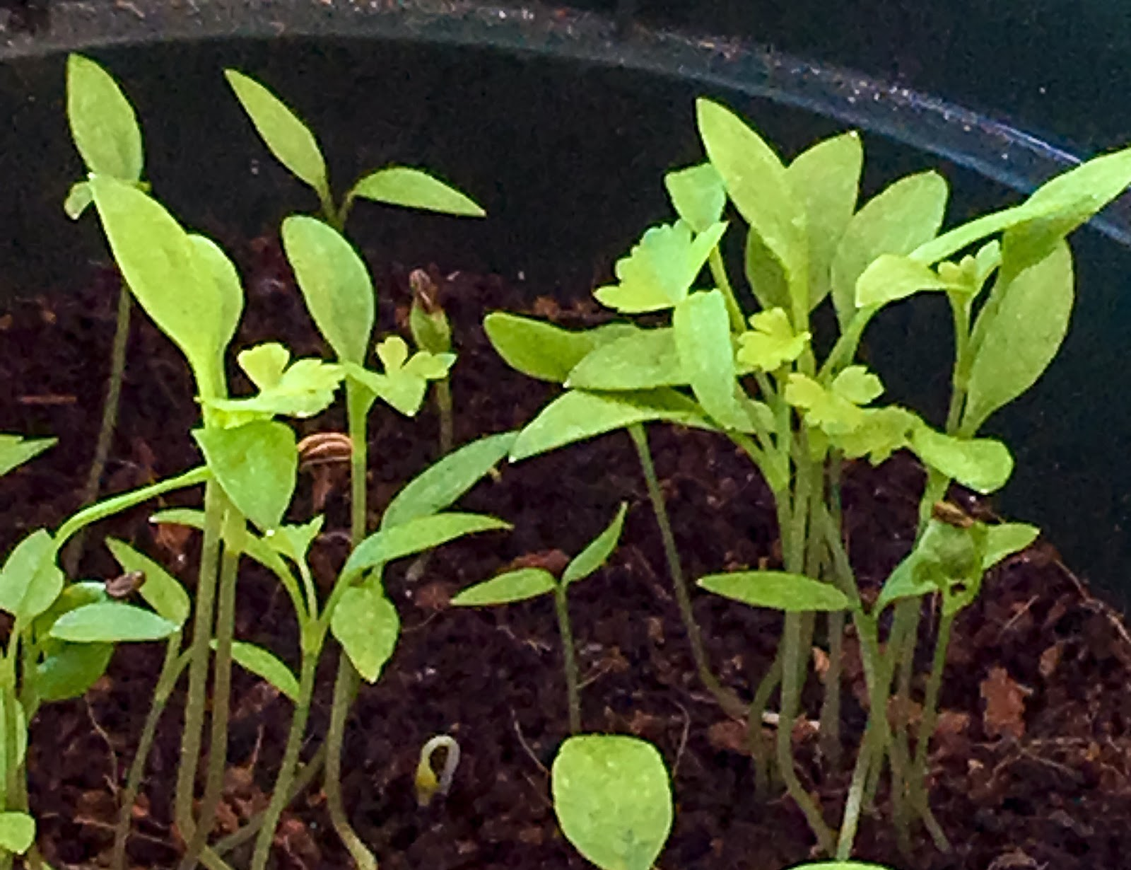 Parsley will first emerge as seen in the photo. When spring gardening from seed, you will want to be able to recognize emerging seedlings, especially when sowing outdoors, where you will need to distinguish them from the multitude of volunteer seedlings that will compete with yours.