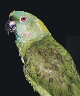 Yellow-naped amazon on seed and table-food diet showing keratin accumulation on the feet and beak, indicating liver disease.
