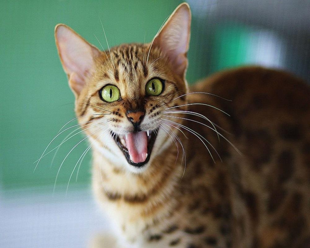 نژادهای مطرح گربه در ایران 10