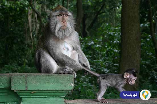 جنگل میمون ها دراوبود