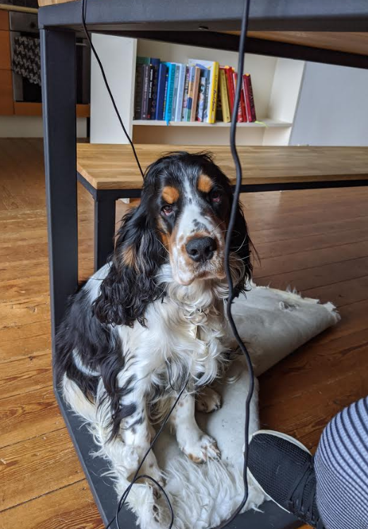 Picture of a dog entangled in cables under a table