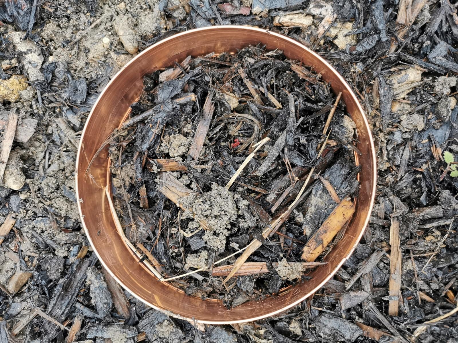 slug ring on Ligularia