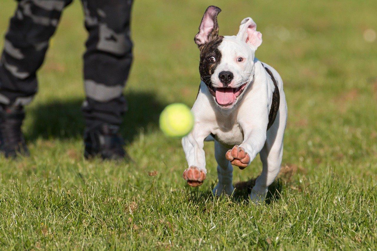 American Bulldog Dog Breed (Complete Guide)