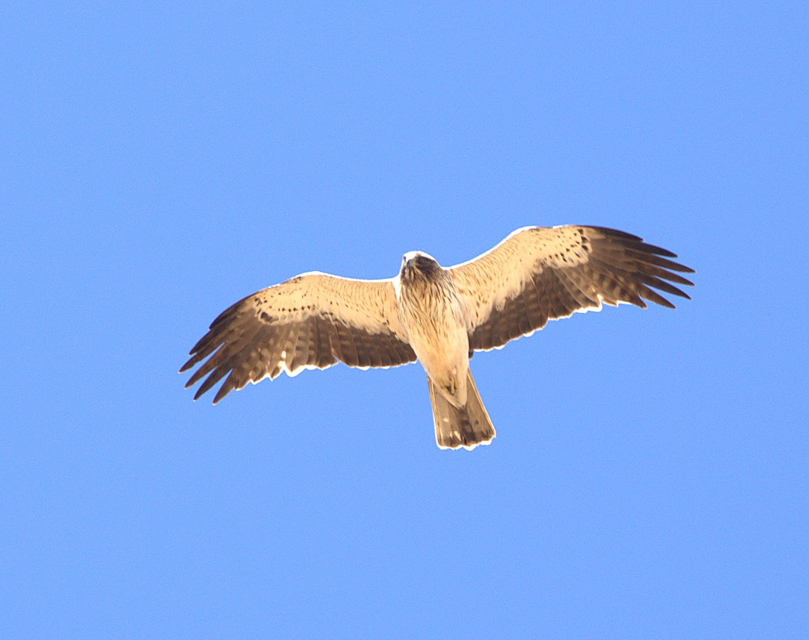booted eagle_rsz.jpg