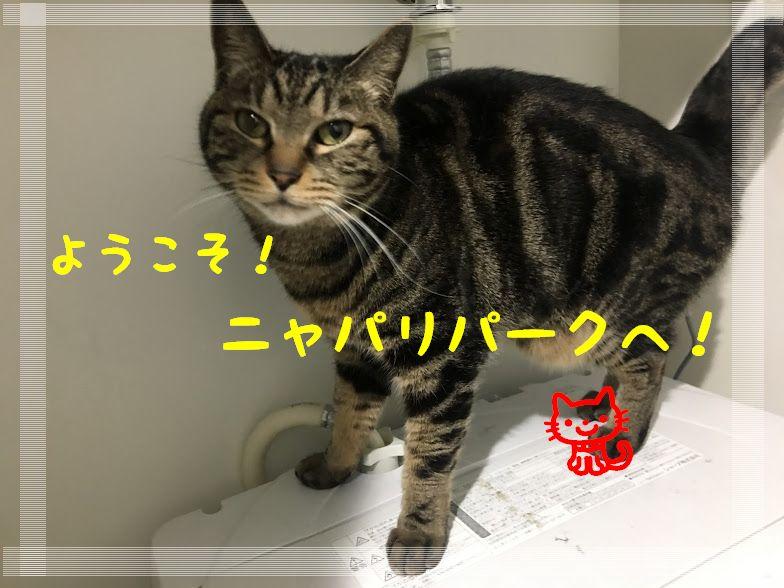 人気の野生ネコ・サーバルキャットの飼い方は?価格や大きさは?