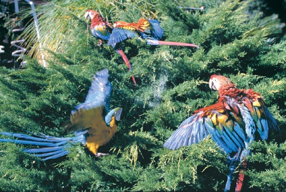 Under close supervision, wing-trimmed fledgling macaws play in juniper bush while showering
