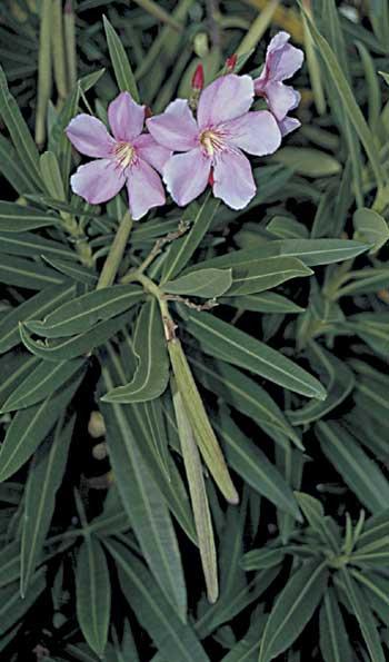 Oleander pod and seeds