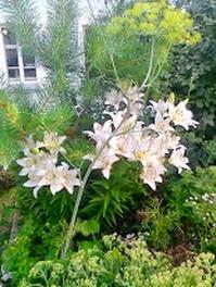 Белая лилия на фоне сосны.Фото.