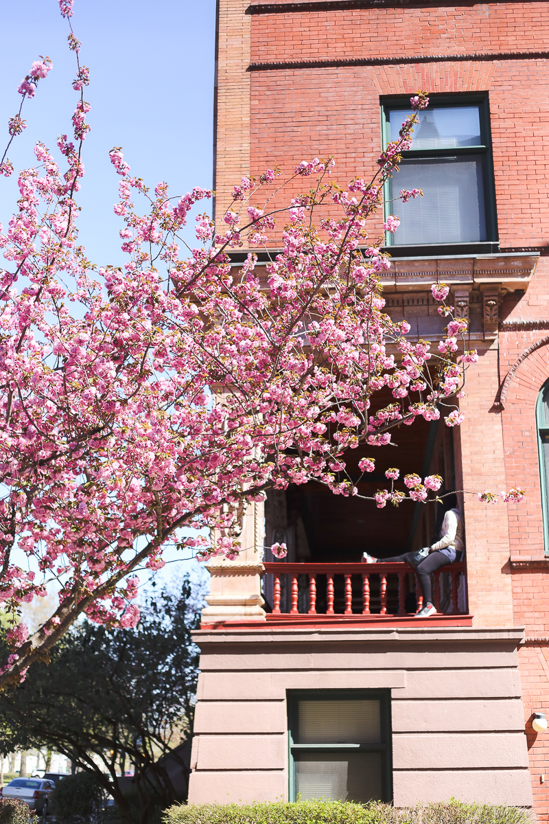 cherry blossoms in Philadelphia 2016