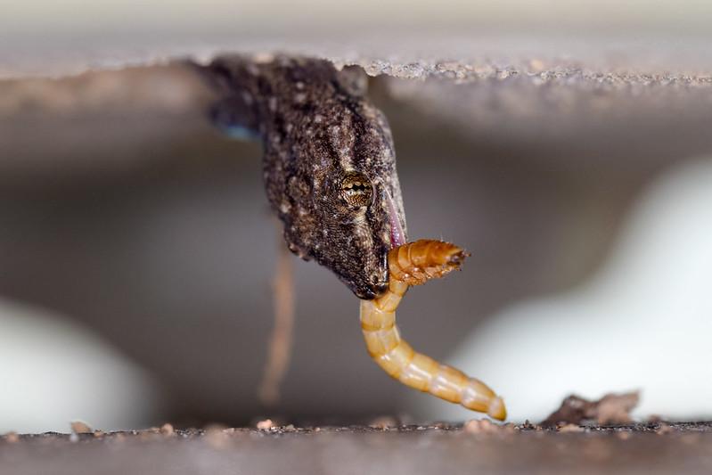 Gecko eating mealworm