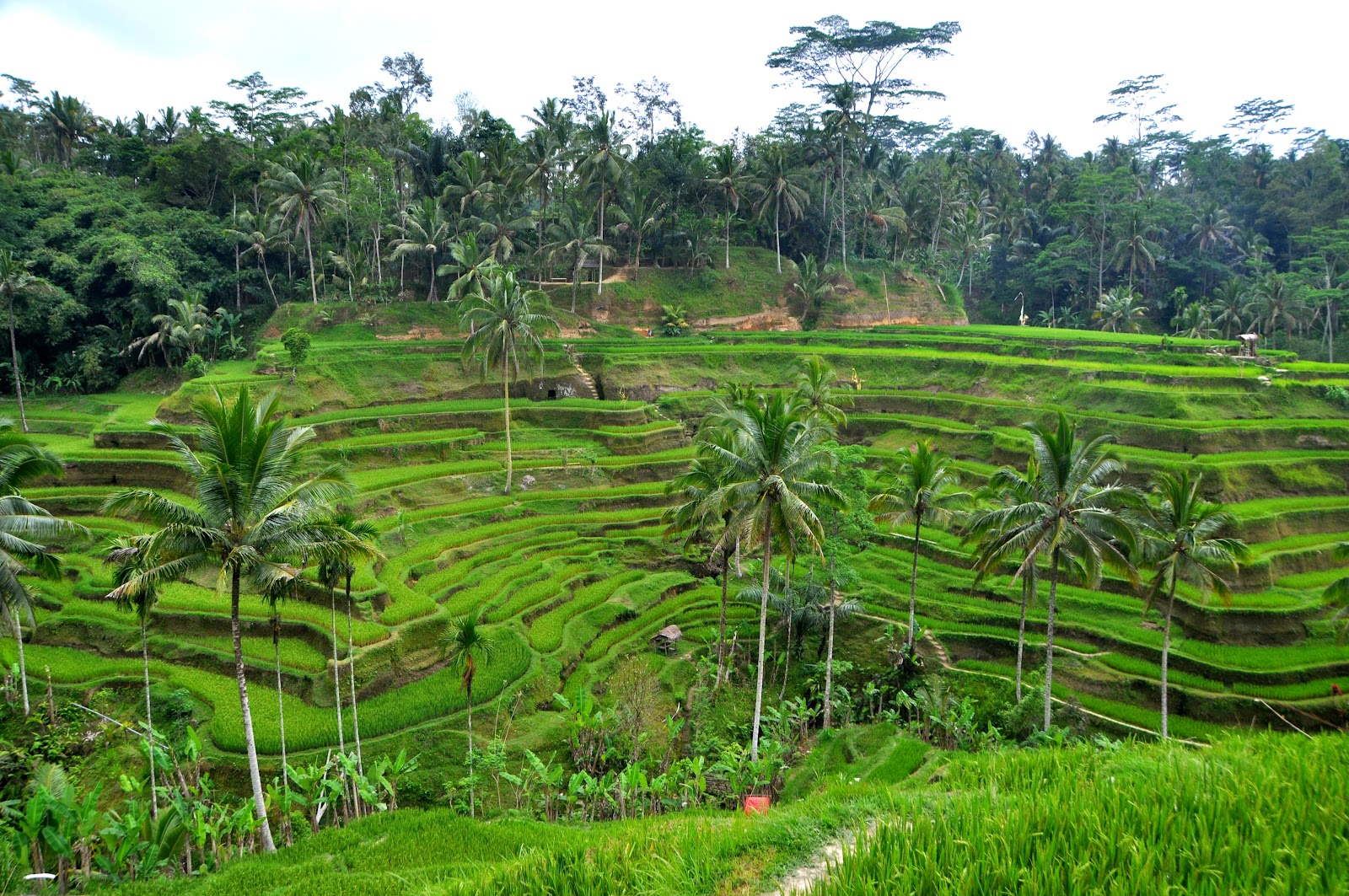tegalalang green rice terraces on cloudy day surrounded by plam trees and jungle bali indonesia