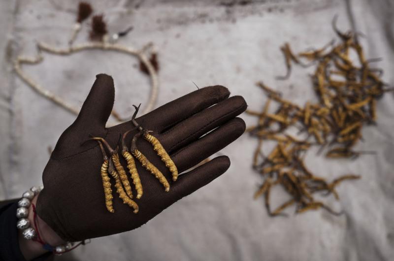 Cách phân biệt đông trùng hạ thảo Tây Tạng thật - giả