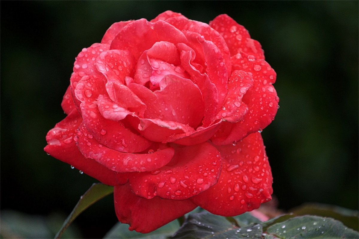 Raindrop Red 5.jpg