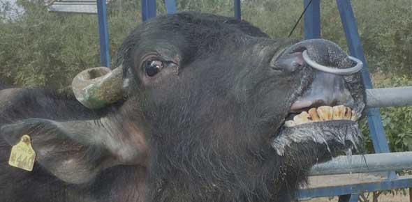 Flehmen response shown by a buffalo bull.
