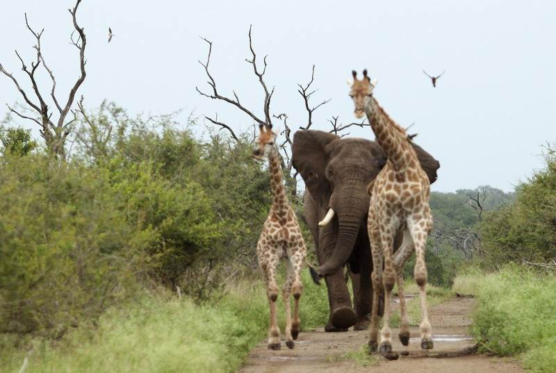 elephant-chasing-giraffes-KZN.jpg
