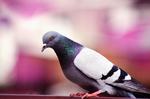 How to Keep Pigeons Out of Your Garden