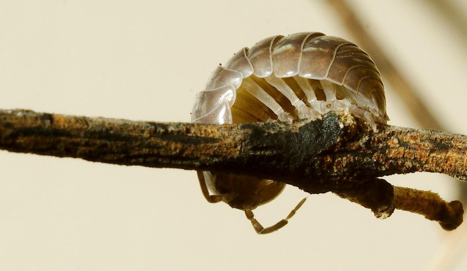 Isopod on twig