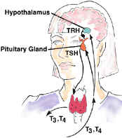 /hypothalamus secretes TRH, Pituitary secretes TSH, Thyroid secretes T3 and T4.