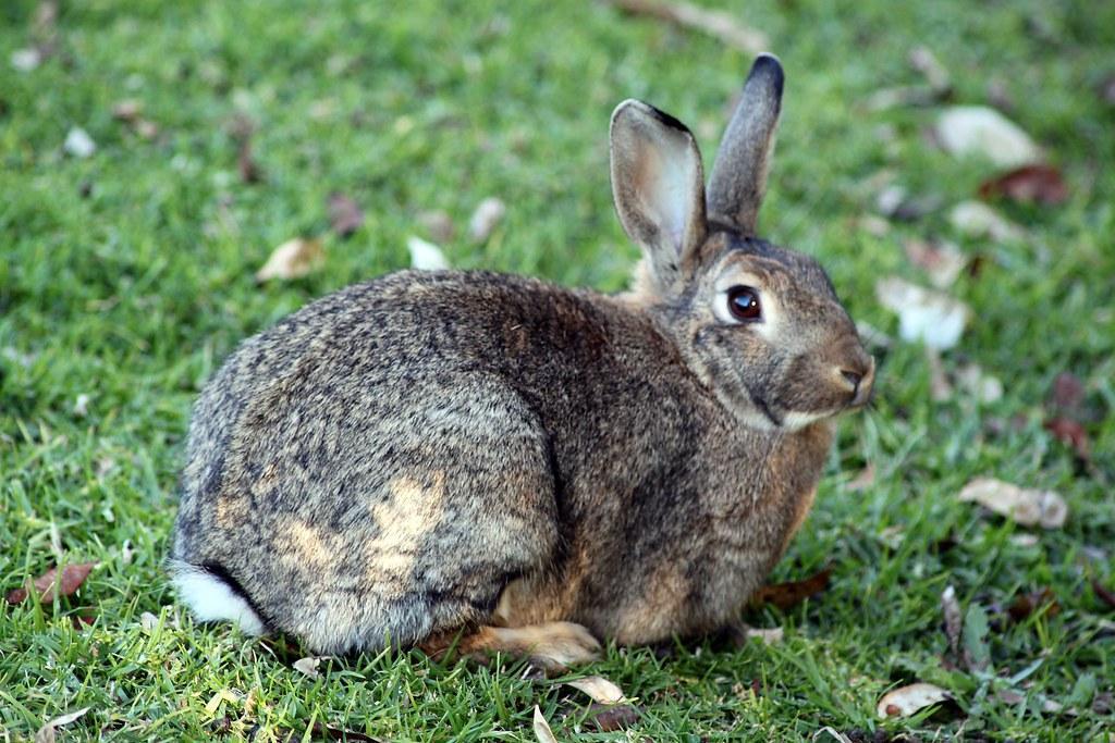 Resulta ng larawan para sa bunyoro rabbit