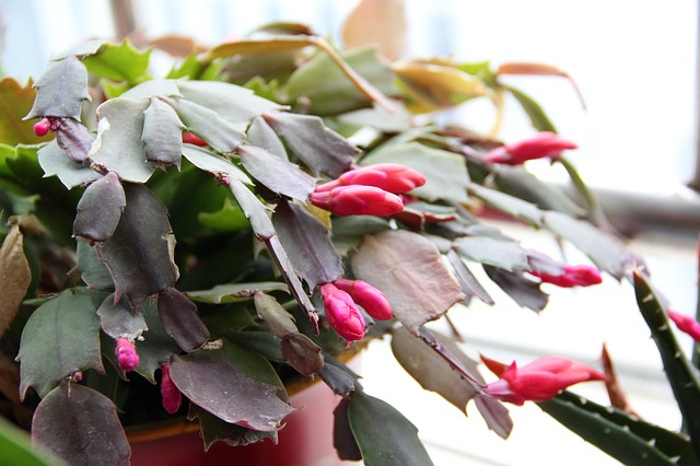 A flowering Christmas Cactus is non-toxic to dogs.