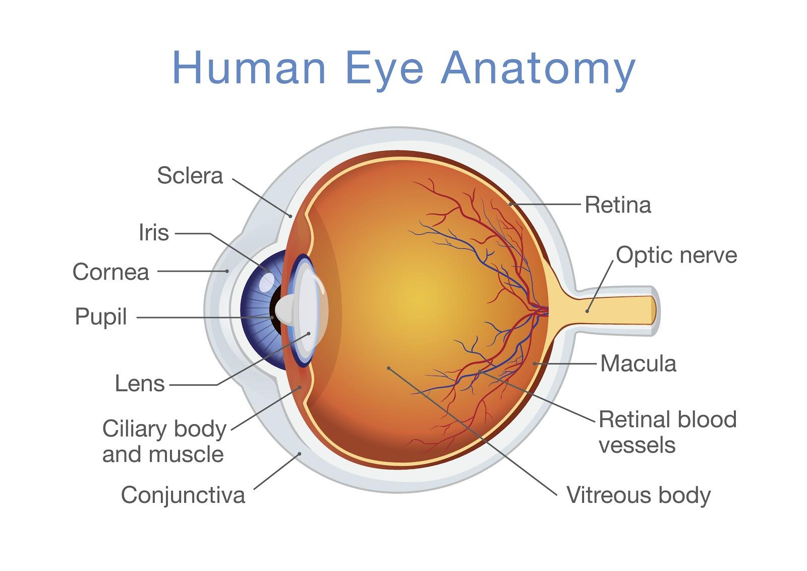 Human eye anatomy diagram