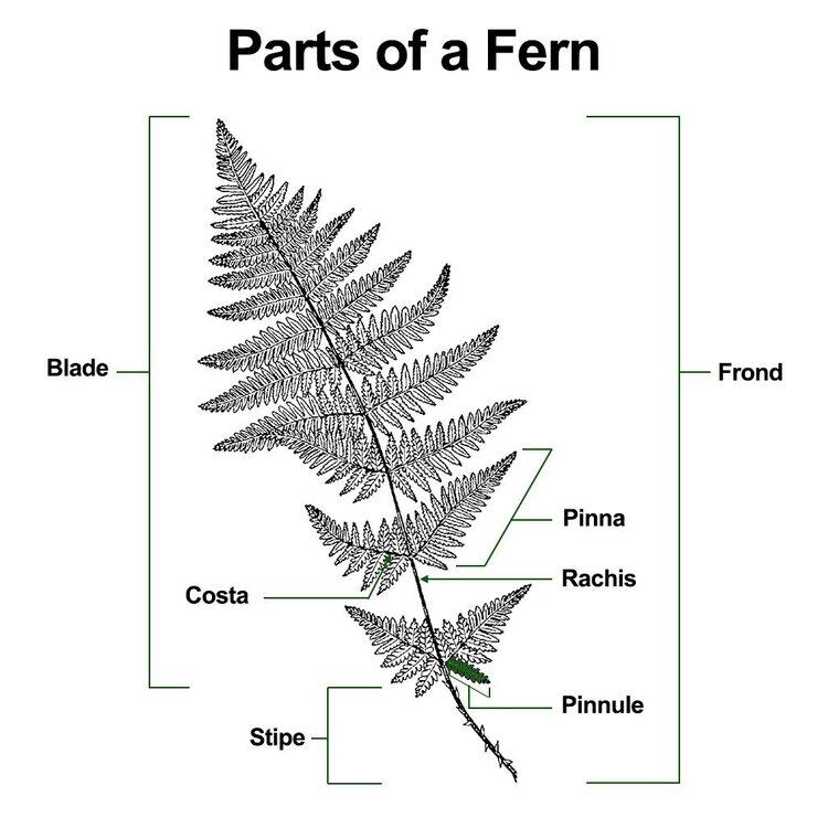 parts of a fern.jpg