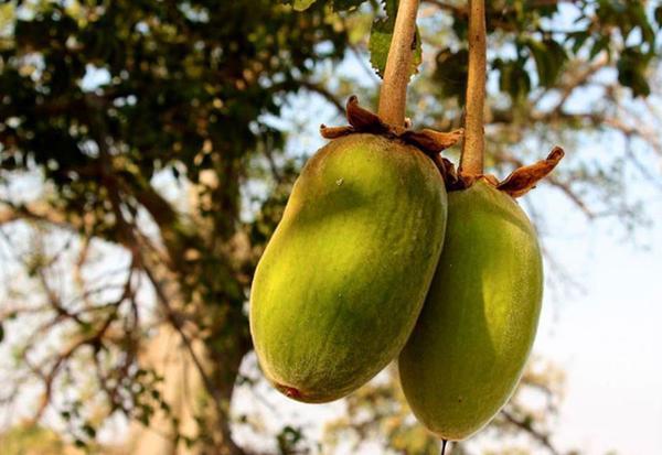 African Baobab fruit