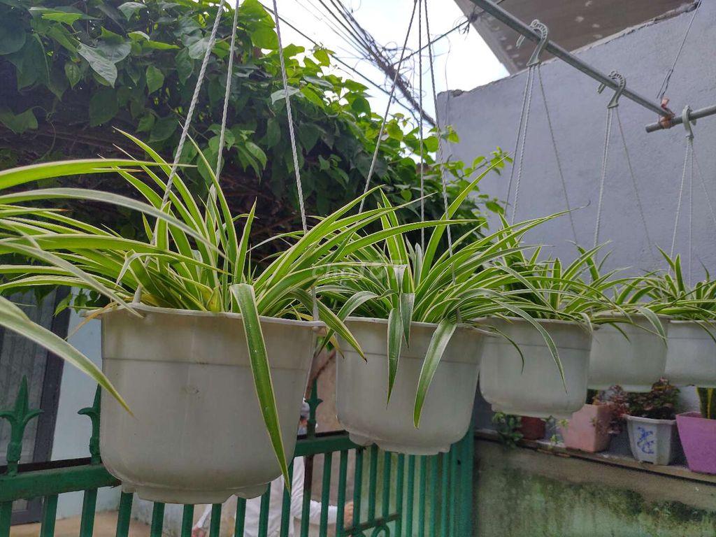 Cây mến khách thích hợp trồng trong điều kiện sáng nhẹ