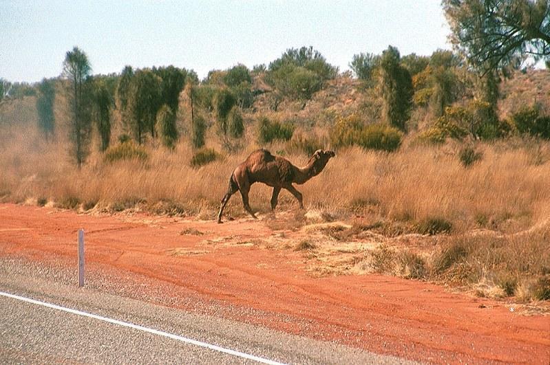 Wild Camel, Australia | On the road to Uluru, Northern Terri… | Flickr