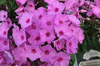 https://www.vitroflora.pl/img/produkty/rosliny/phlox-flame-pink_2.jpg