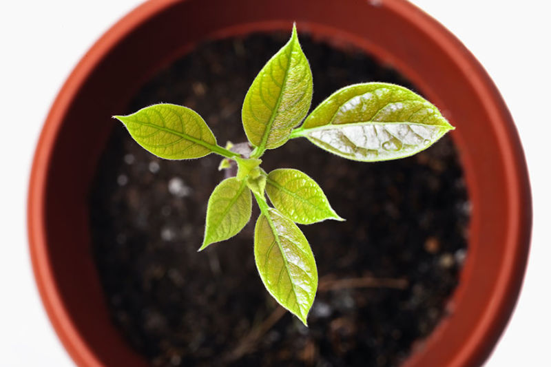 avocado plant young avocado plant