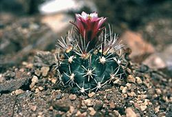 Description: Sclerocactus_spinosior_fh_69_8_UT_in_cultur_B.jpg
