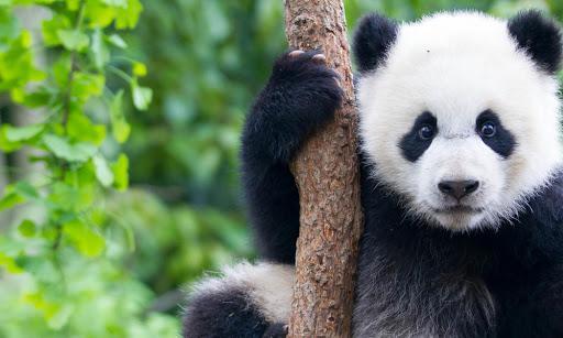 Giant Panda | Species | WWF