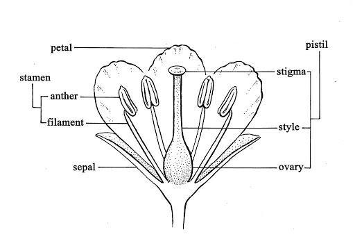 Glossary Details - The William & Lynda Steere Herbarium