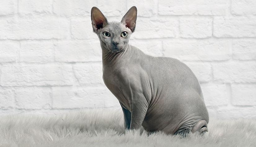 mèo sphynx rất nổi tiếng trên thế giới